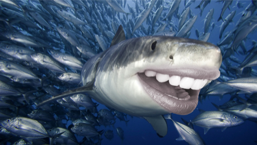 shark with human teeth