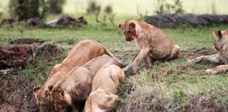 Lioness Rescues Cubs