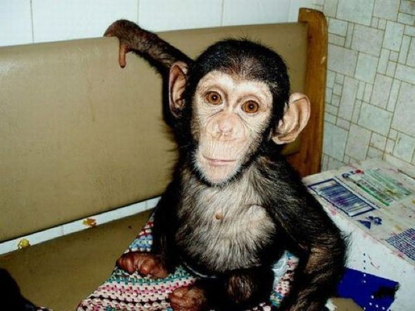 baby chimp dog 2