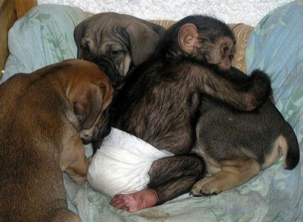 chimp puppy