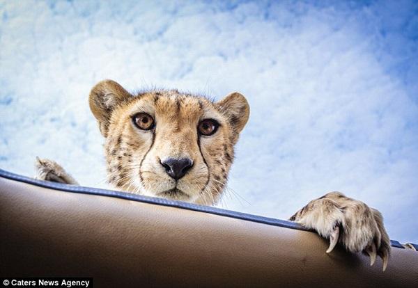 Cheetah Peek-A-Boo