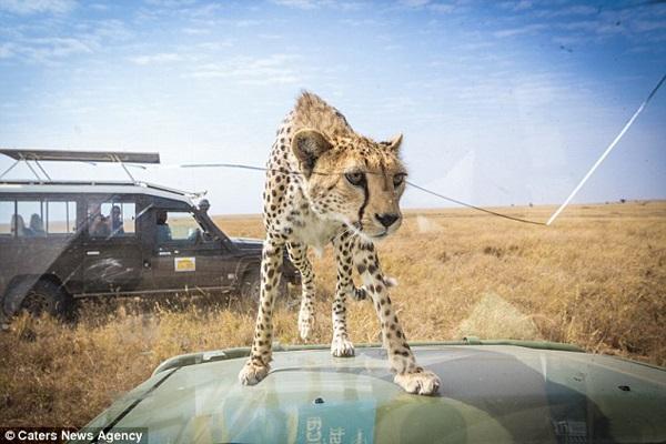 Cheetah on hood of car