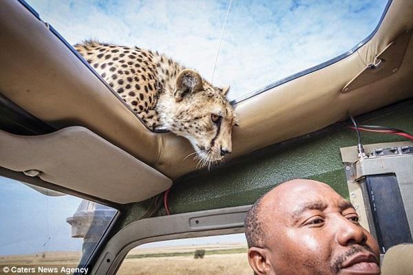 Curious Cheetah Peeks Through Sunroof