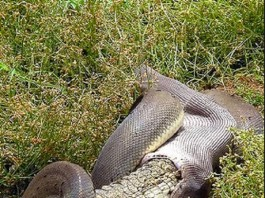 Snake Eats Crocodile