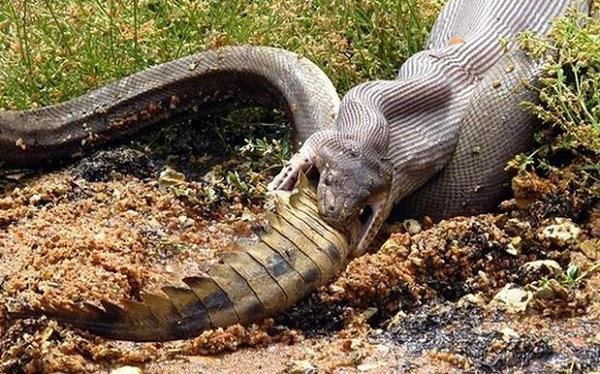 Python Eats Croc 9