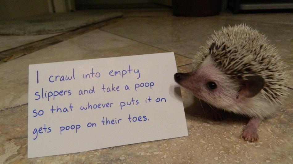 Hedgehog-Shaming