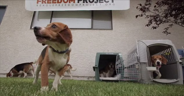 Beagle Puppies Freed From Lab - Video Grabs