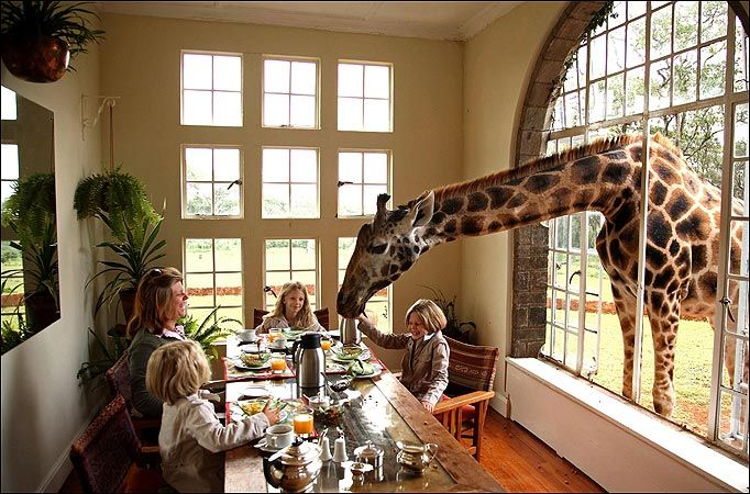 Giraffes For Dinner