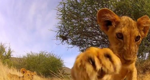 Adorable cubs snapped by the GoPro