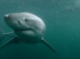 Cliff Jump Great White Shark
