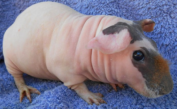 Hairless Animals (8)