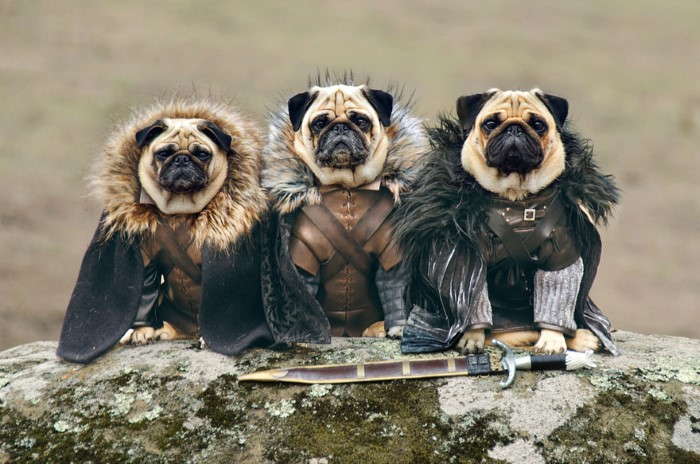 Pugs Game of Thrones (2)