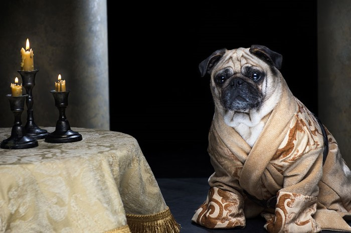 Pugs Game of Thrones (9)