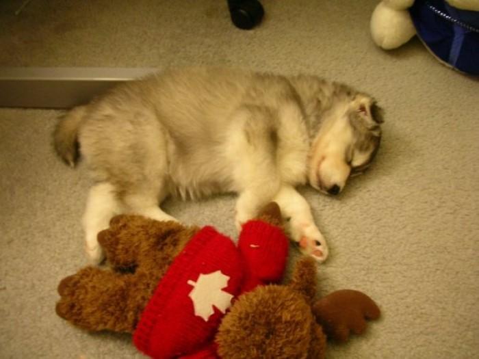 Tally the Husky Dog (10)