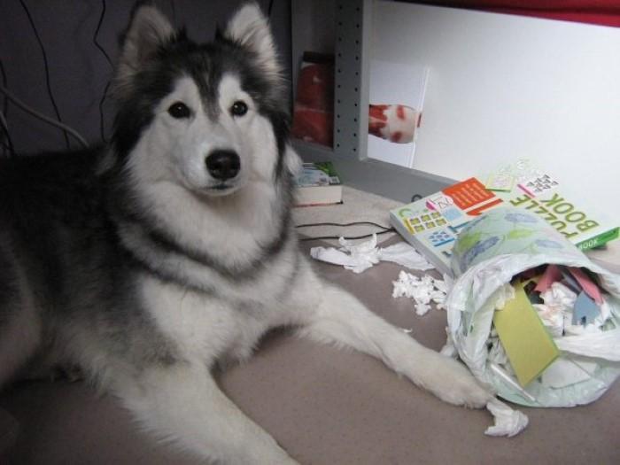Tally the Husky Dog (14)
