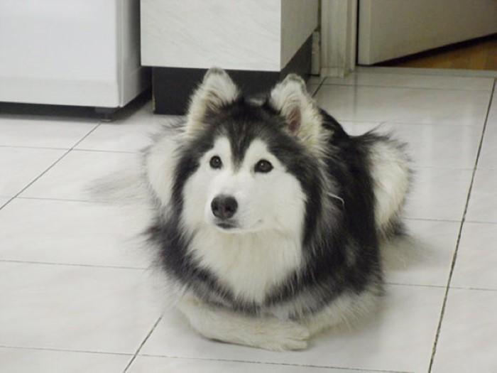Tally the Husky Dog (3)