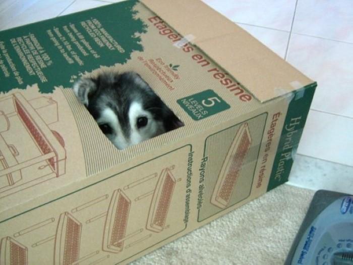 Tally the Husky Dog (4)