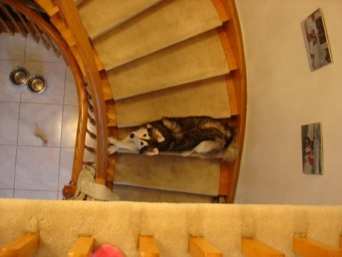 Tally the Husky Dog (7)