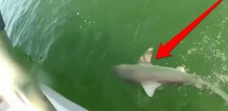 Grouper Shark Attack