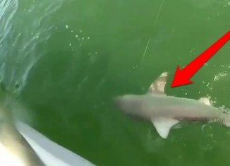 Grouper Shark Attack