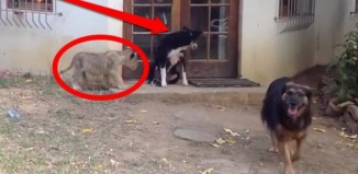 Lion Cub Frightens Dog