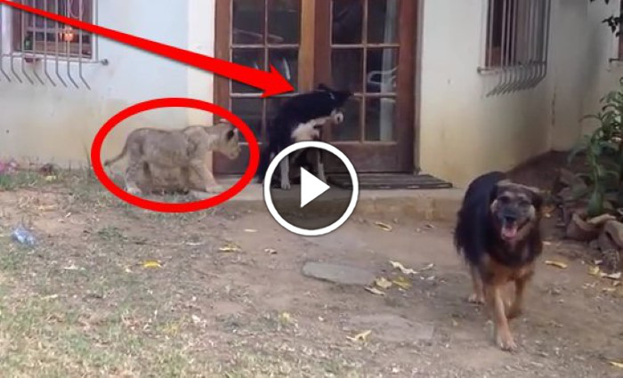 A Lion Cub Sneaks Up On A Dog The Dog S Reaction Is