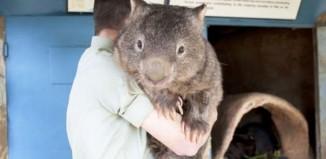 Old Wombat