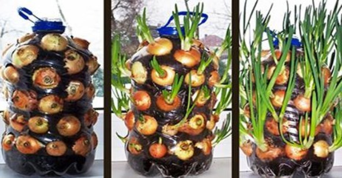 Find out how to grow endless onions indoors boredombash for Indoor gardening onions