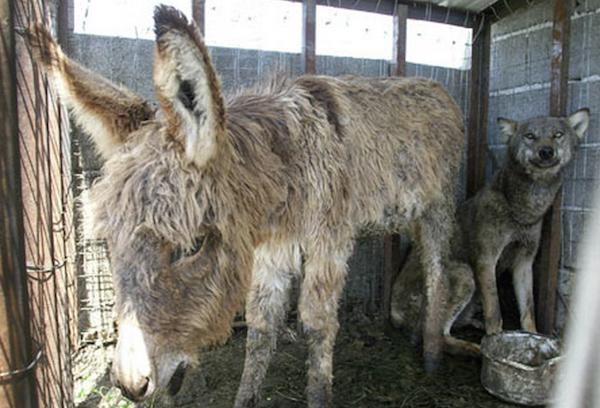 wolf-donkey-friendship 1