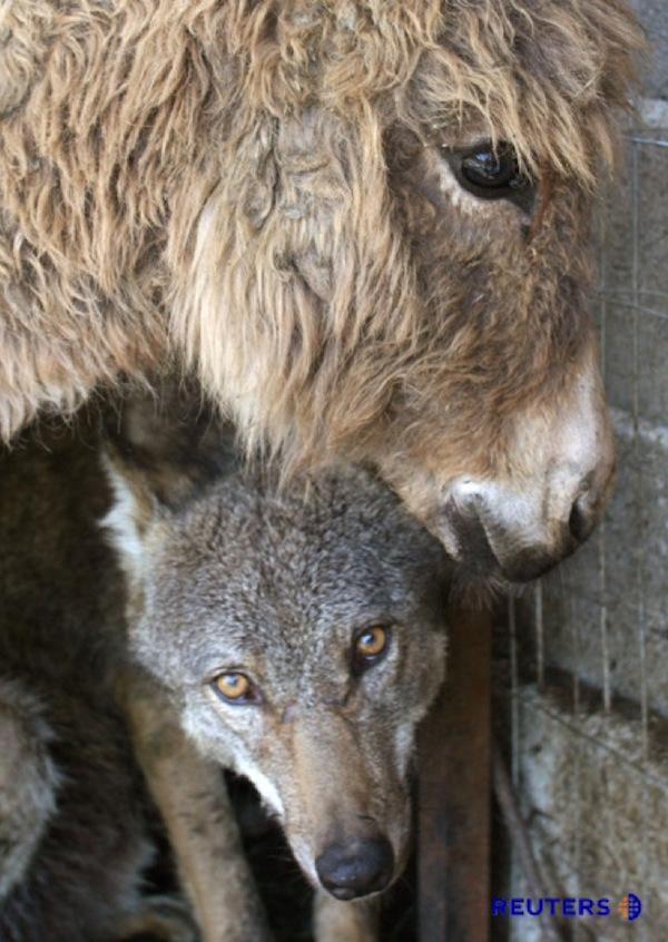 wolf-donkey-friendship-3