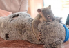 koala thumb