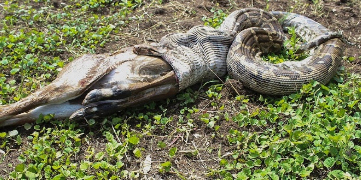 Snake Vomits Antelope