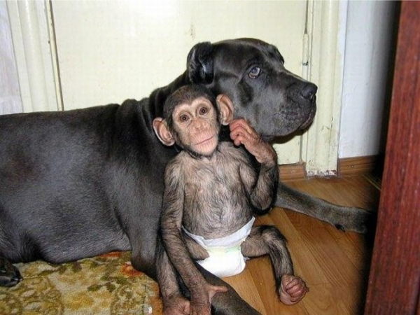Dog and Chimp nappy