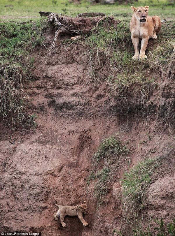 Lioness Looks Down on Her Cub on Cliff Side