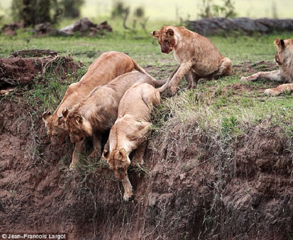 Lionesses From Pride Try to Reach Cub