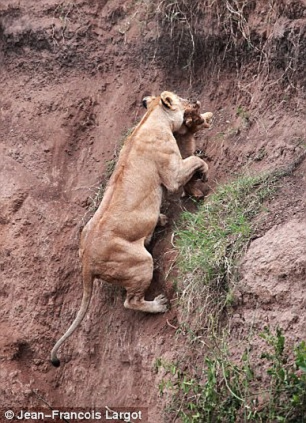 Mother Lioness Reaches Cub