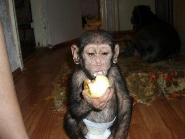 chimp eating