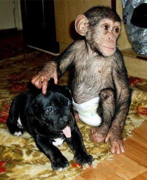 chimp puppy play