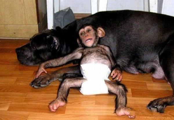 chimp laying chilling