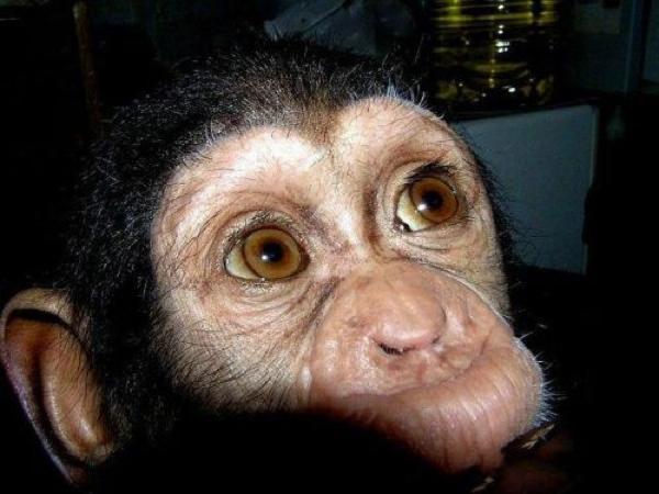 baby chimp eyes face