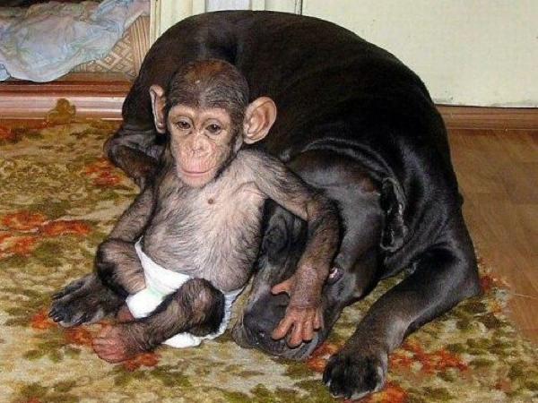 chimp lounging dog