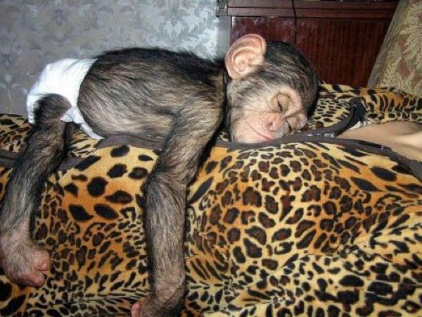 chimp sleeping