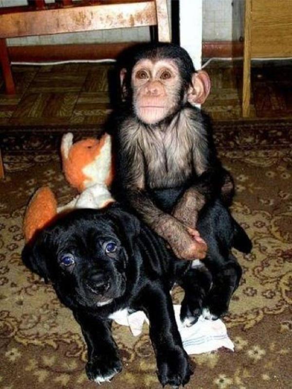 chimp staring
