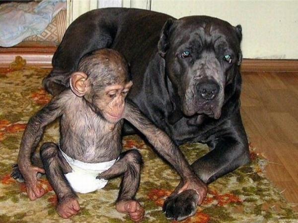 baby chimp play