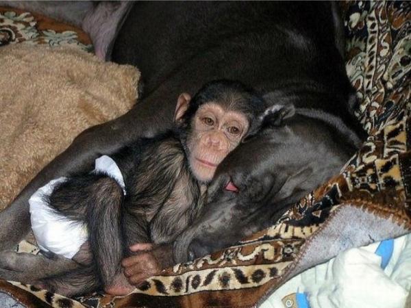tired baby chimp