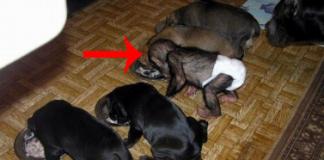mastif adopts chimp
