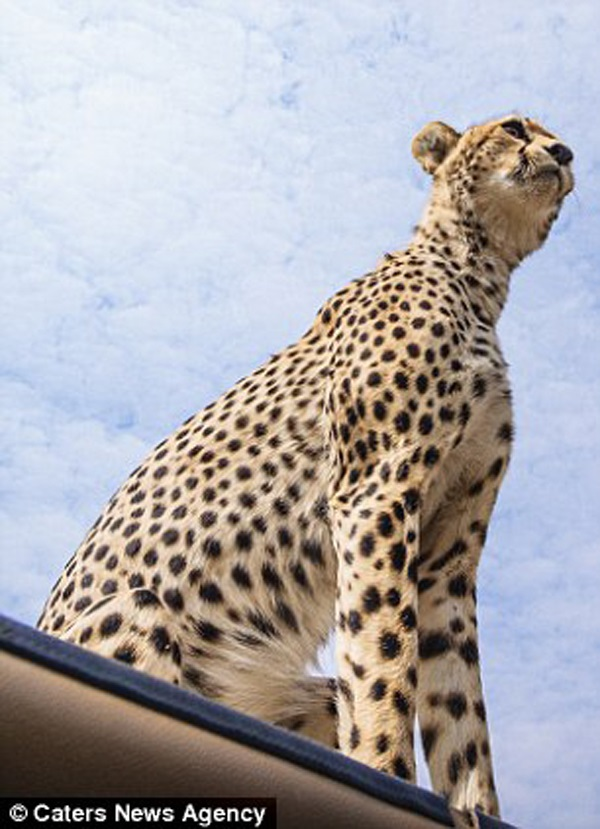 Cheetah looking out at the view from top of safari car