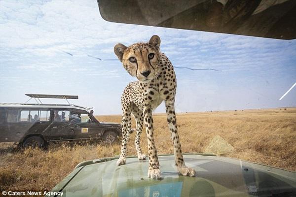 Cheetah looks at humans through glass