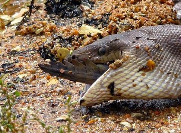 Python Eats Croc 11