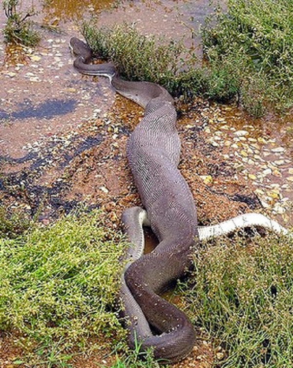 Python Eats Croc 12 final